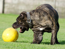 dog play ball