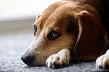 beagle with feelings