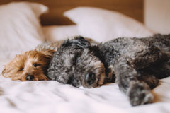 dogs in owners bed