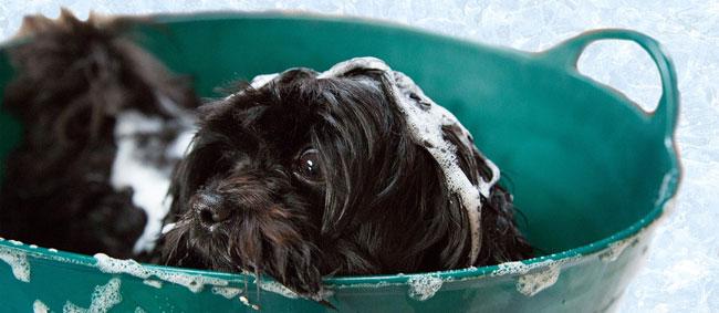 dog in routine bath